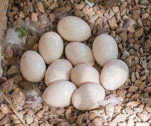 Eenden eieren