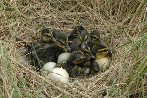 Eenden kuikens in nest