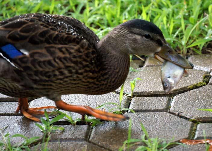 Eenden eten vis